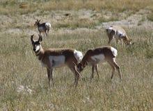 Pronghorn - Antelope Royalty Free Stock Photo