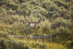 Pronghorn grazing in sagebrush meadow of Yellowstone National Pa Stock Image