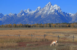 Pronghorn-grote Tetons Stock Afbeelding