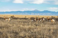 Pronghorn Herd against the Rocky Mountains stock photography