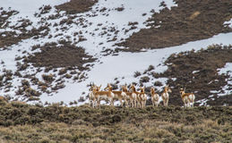 Pronghorn herd Royalty Free Stock Image