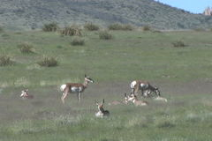 Pronghorn Herd Bedded stock footage