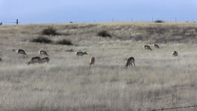 Pronghorn Herd Grazing on the Prairie stock footage