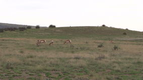 Pronghorn Herd Grazing on the Prairie Royalty Free Stock Images