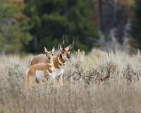 Pronghorn herd-mates royalty free stock image