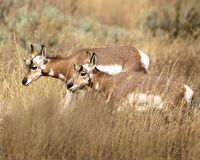 Pronghorn herd-mates in the tall grass. Pronghorn sisters making their way through the tall meadow grass Grand Teton National Park, Wyoming, USA royalty free stock image