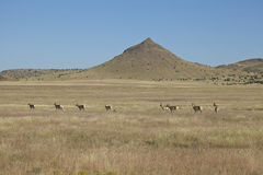 Pronghorn Herd on the Prairie Stock Photo