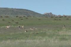 Pronghorn  Herd on Prairie Stock Image