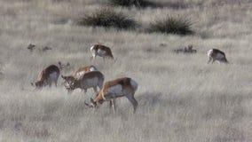 Pronghorn Herd on the Prairie Zoom In stock video footage
