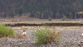 Pronghorn Herd in Rut stock footage