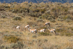 Pronghorn Herd in Rut Royalty Free Stock Photo