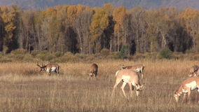 Pronghorn Herd in the Rut stock video