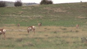 Pronghorn Herd in Rut stock video footage