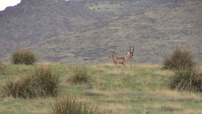 Pronghorn Herd During the Rut stock footage