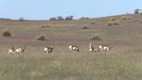 Pronghorn Herd in Rut stock video