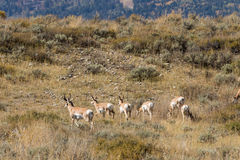 Pronghorn Herd Rutting Stock Photography