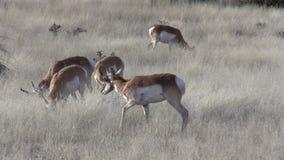 Pronghorn Herd stock video