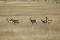 Pronghorn Herd Standing on the Prairie Stock Image
