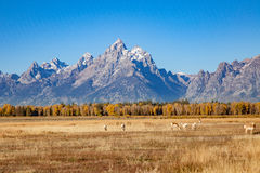 Pronghorn Herd in the Tetons in Fall Stock Photo