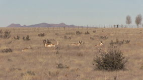 Pronghorn Herd Zoom Out stock video