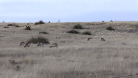 Pronghorn Herd  Zoom in stock video footage