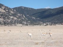 Pronghorn i Park County, Colorado Royaltyfria Bilder