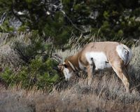 Pronghorn itch relief. Pronghorn is scratching his head on a bush. Grand Teton National Park, Wyoming, USA stock images