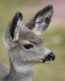 Pronghorn lismar ståenden Royaltyfri Fotografi