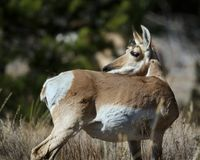 Pronghorn looking over her shoulder. Pronghorn female giving a backward glance to check for danger Grand Teton National Park, Wyoming, USA stock photography