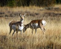 Pronghorn sisters in the meadow. Pronghorn looking warily at the camera Grand Teton National Park, Wyoming, USA royalty free stock photography