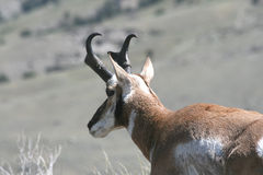 Pronghorn on the lookout Stock Photography