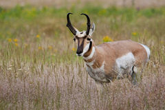 Pronghorn mâle Images stock