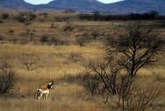 Pronghorn mâle photographie stock libre de droits