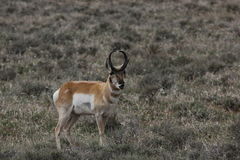 Pronghorn Stock Photography