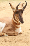 Pronghorn. Male North American Antelope Sitting stock photo