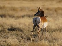 Pronghorn Mama To Be stock photography