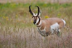 Pronghorn maschio Immagini Stock