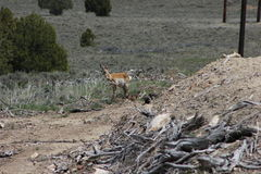 Pronghorn mom and baby Royalty Free Stock Image