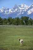 Pronghorn mountain scene. A pronghorn looks back as he walks across a meadow towards the high peaks of the Teton mountain range in Wyoming Stock Photos