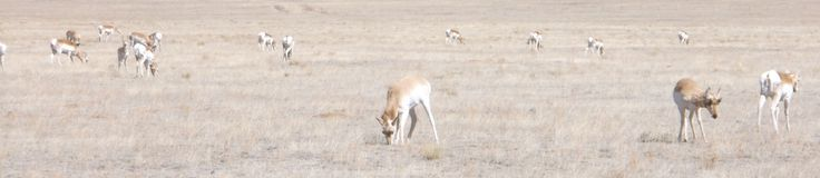 Pronghorn na South Park Obraz Royalty Free