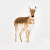 Pronghorn in neve VI Fotografia Stock Libera da Diritti