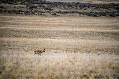 Pronghorn no campo do parque estadual da ilha do antílope, Utá imagens de stock