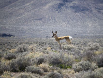 Pronghorn in Northern Nevada. Pronghorn in the Northern Nevada Desert Royalty Free Stock Photography
