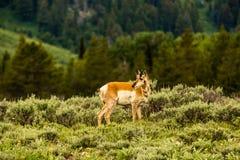 Pronghorn, parque nacional grande de Teton Imagens de Stock Royalty Free