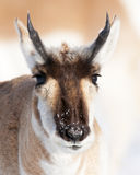 Pronghorn Portrait Stockfotografie