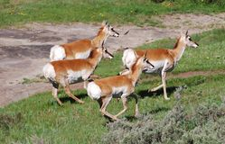 Pronghorn Quartet. Pronghorn does in Lamar Valley in Yellowstone National Park Royalty Free Stock Images
