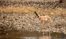 Pronghorn on the River. Pronghorn buck on the banks of a river in the Lamar Valley of Yellowstone National Park Stock Photo