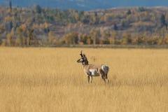 Pronghorn samiec Obrazy Royalty Free