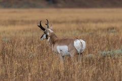 Pronghorn samiec w polu Zdjęcia Royalty Free