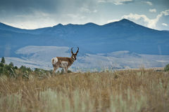 Pronghorn Sentry Stock Photography